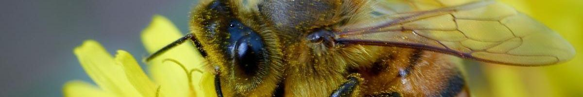 The Real Scoop on Dandelions and Honeybees