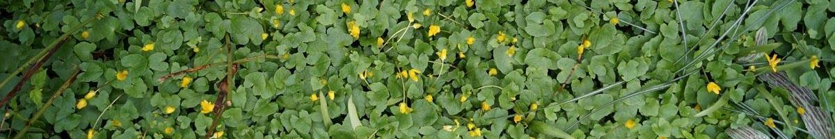 Dealing With Winter Annual Weeds in your Lawn and Garden