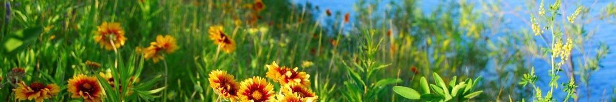 Firewheel: A Native Wildflower Favorite Rich in Legend & Lore