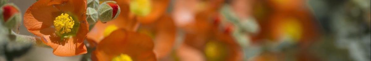 Globemallow Wildflowers: Tough as Nails & Pretty Too