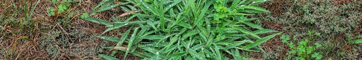 How Do I Get Rid of Crabgrass In My Lawn?
