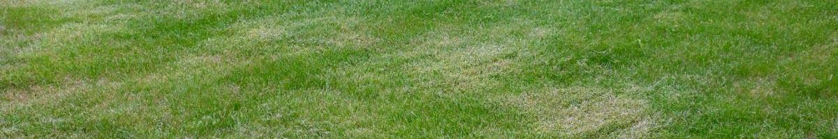 How to Avoid Necrotic Ring Spot in Your Lawn Grass