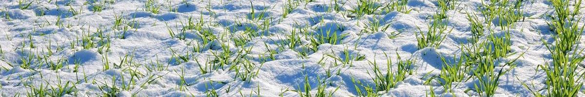 How Wheat Survives the Winter