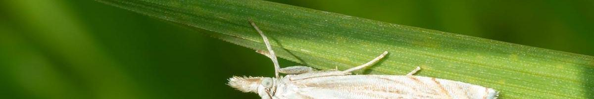 Identifying and Preventing Sod Webworm Damage