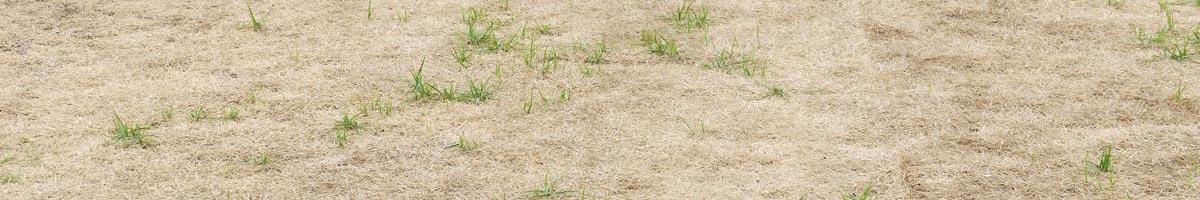Kentucky Bluegrass Lawn Recovery