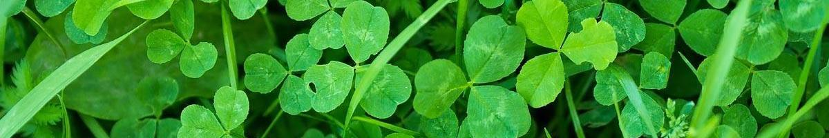 More than Luck: Why You Should Add Clover to Your Lawn Grass
