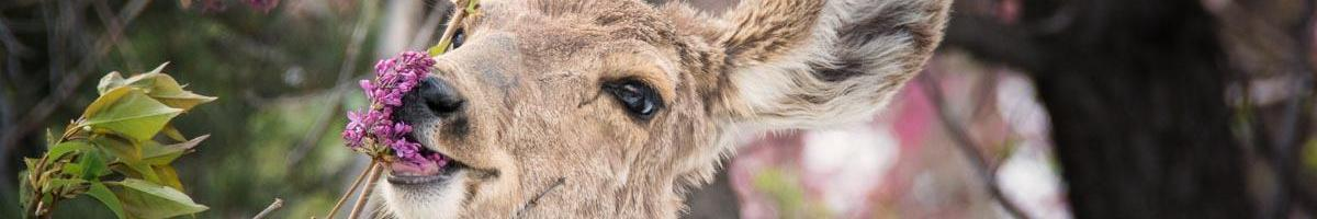 Peaceful Coexistence: Keeping Deer from Eating Your Wildflowers