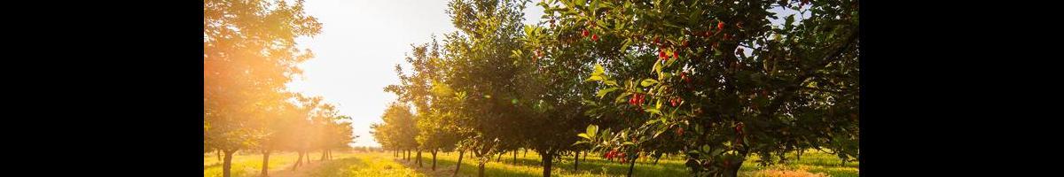 Talkin' Fruit Trees: Is Planting a Sucker a Good Idea?