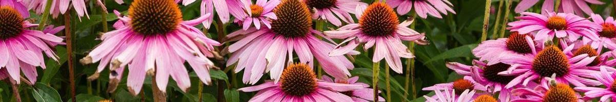 Purple Coneflower: Garden Classic and Natural Healer