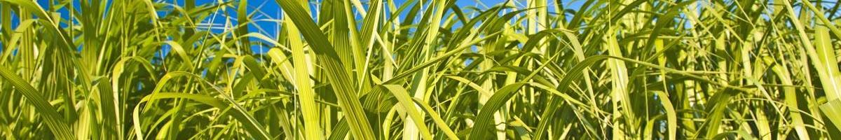 Switchgrass: A Grass of Many Uses