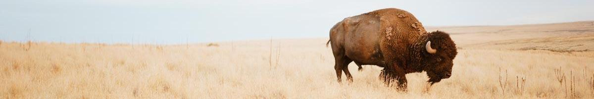 The Sustainable Attributes of Buffalo Grass Seed