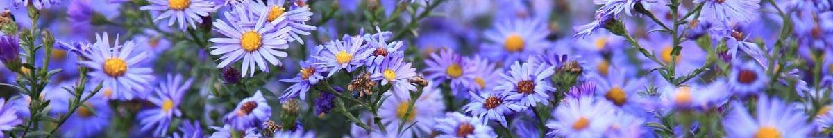 Ushering in the Autumn Season with Aster Wildflowers