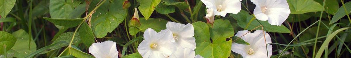Vile Vine: Field Bindweed Can Be Devastating to Your Lawn, Garden & Pasture