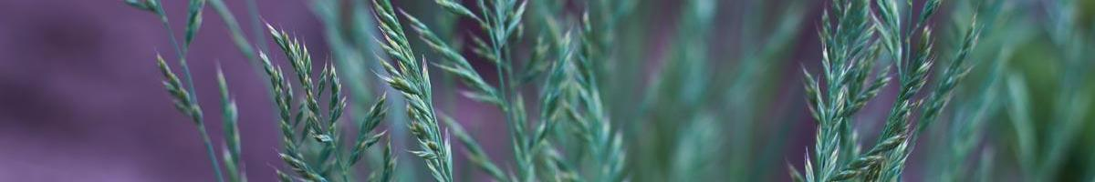 What You Need to Know About Endophyte Toxicity in Tall Fescue Pastures