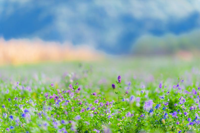 Converting Your Old Alfalfa Field into a Productive Pasture