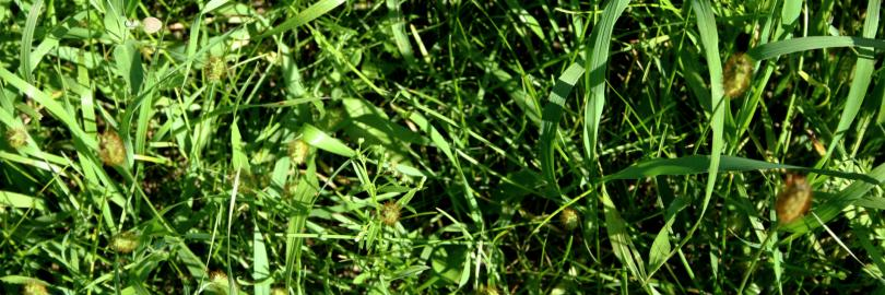 How to Get Rid of Crabgrass