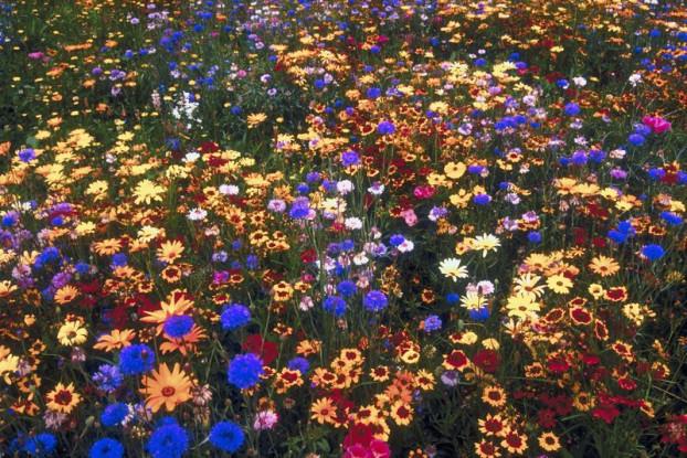 Annual Wildflower Blend