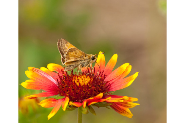 Western Low-Water Use Pollinator Blend