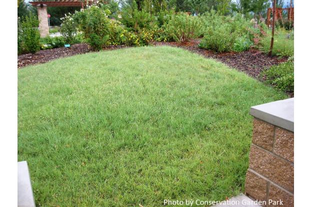 Buffalograss Seed Blend