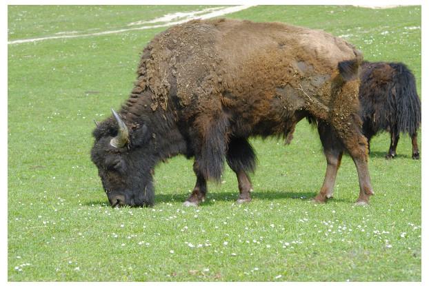 Florida Tropics Bison Forage Blend