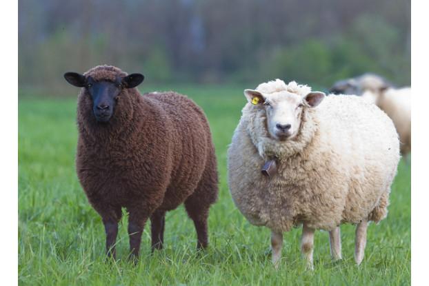 Florida Tropics Sheep Pasture