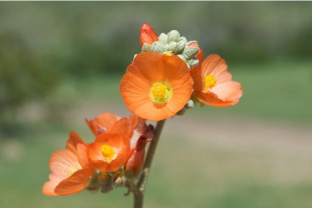 Coulter's Globemallow