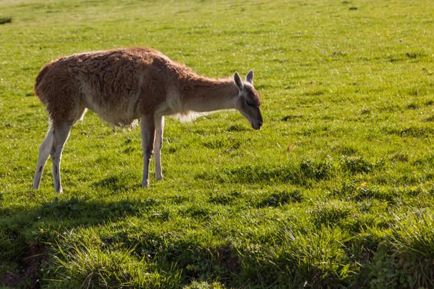 Great Plains Alpaca/Llama Forage Blend
