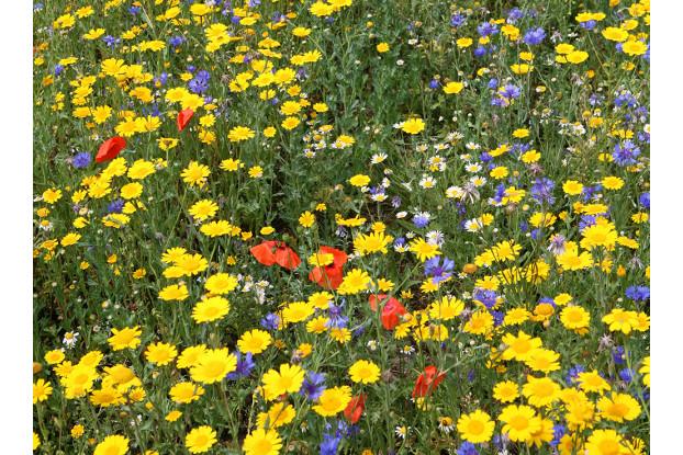 Great Basin Wildflower Blend