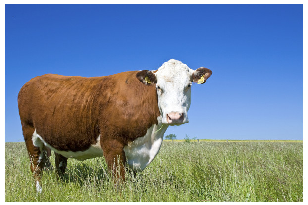 Great Plains Beef Cattle Pasture