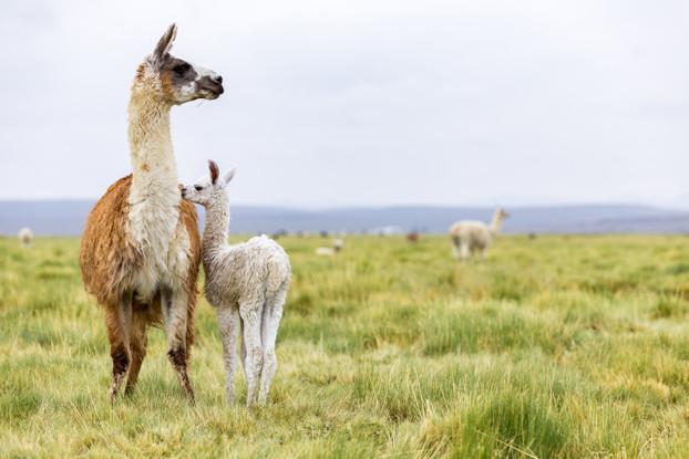 Intermountain West Alpaca/Llama Forage Blend