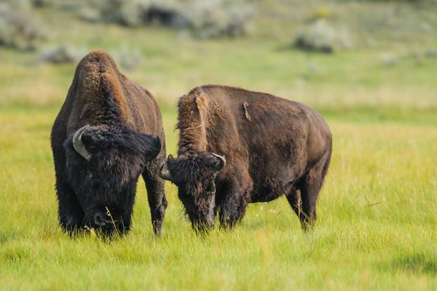 Intermountain West Bison Forage Blend
