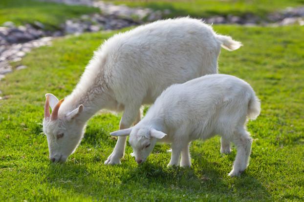 Intermountain West Goat Forage Blend