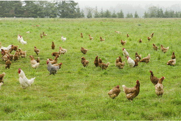 Intermountain West Poultry Forage Blend