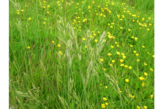 Meadow Brome