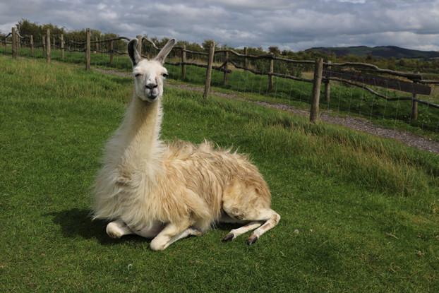 Mid-West/Mid-Atlantic Alpaca/Llama Forage Blend