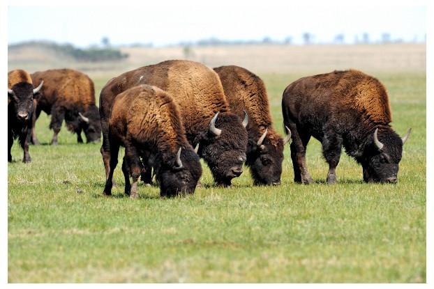 Mid-West/Mid-Atlantic Bison Forage Blend