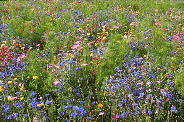 Northwest Wildflower Blend