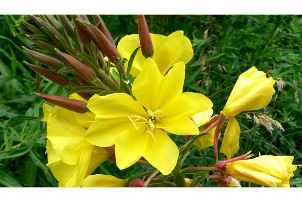 Hooker's Evening Primrose in Bloom