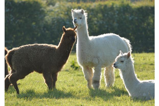 Pacific Southwest Alpaca/Llama Forage Blend