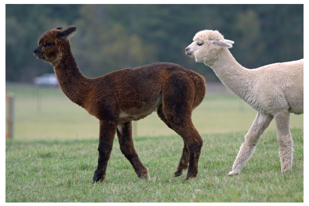 Pacific Northwest Alpaca/Llama Pasture
