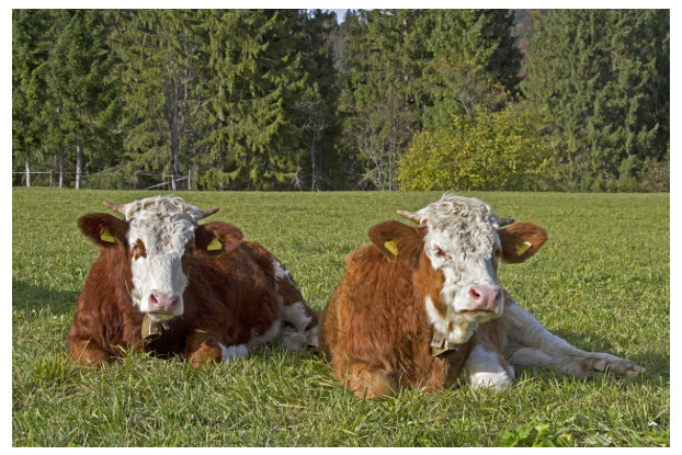 Pacific Northwest Beef Cattle Pasture