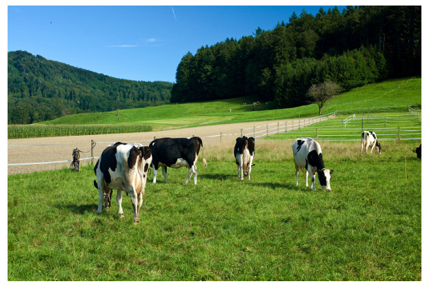 Pacific Northwest Dairy Cow Pasture