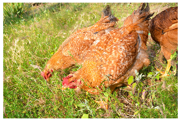 Pacific Northwest Poultry Forage Blend
