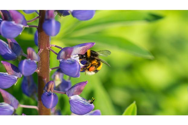 Pacific Northwest Pollinator Blend