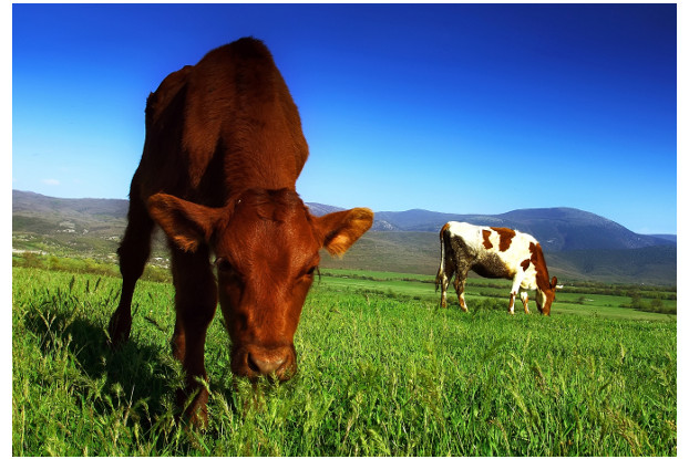 Pacific Southwest Beef Cattle Pasture