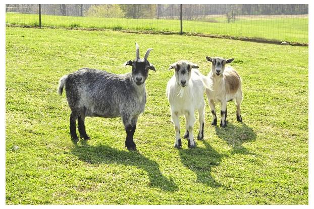 Pacific Southwest Goat Pasture