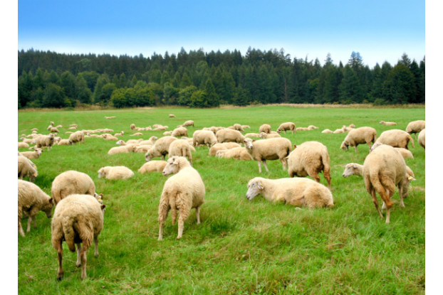 Pacific Southwest Sheep Pasture