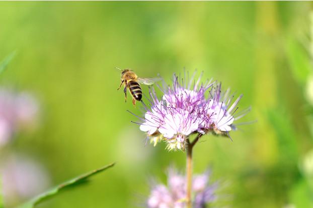 Pacific Southwest Pollinator Blend