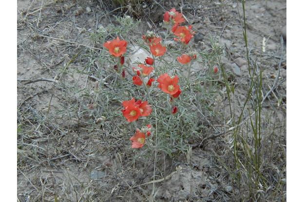 Scarlet Globemallow