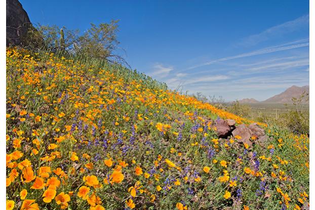 Sonoran Desert Wildflower Blend